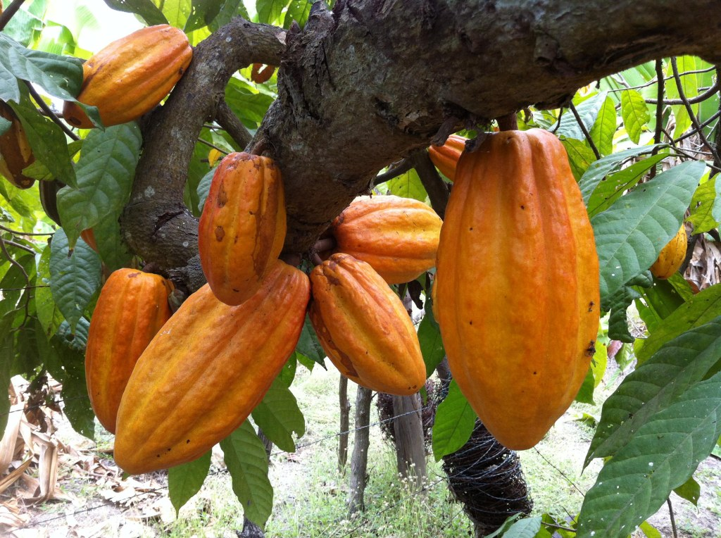 Cabosses de cacaos natifs du Soconusco
