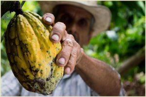 Cacao pod (Criollo) in the Soconusco region (Chiapas)
