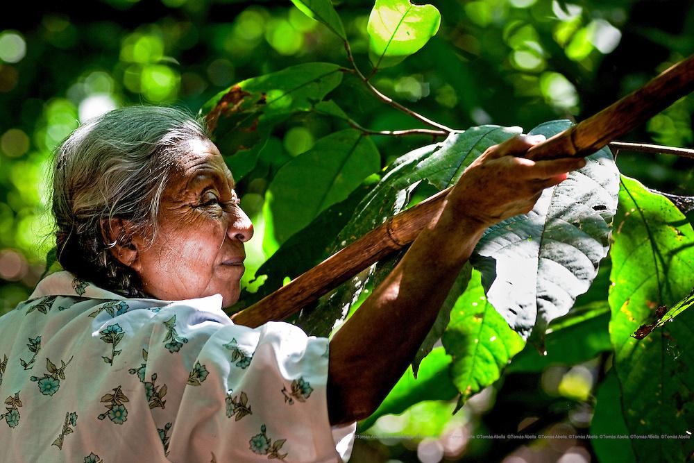 Doña Demetria, la pasionaria du Criollo, propriétaire de la Finca El Paraiso à Alvaro Obregon, près de Tapachula. Ici travaillant sur sa plantation de criollos © Tomàs Abella