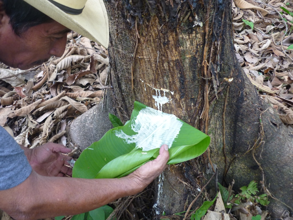 Incroyable, rencontrez des caféiers oui, mais pas des caoutchoucs. Et pourtant, certains planteurs de criollo les exploitent. En fait, les premières plantations de caoutchouc en Amérique furent mexicaines. En 1872, Matias Romero, ambassadeur du Mexique à Washington planta 100 000 castilloas, ici même, sur la rivière Suchiate. (Photo FC)