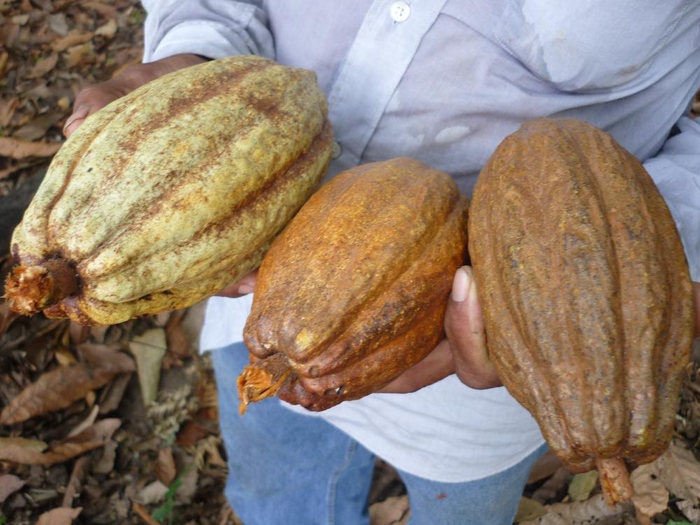 Différentes cabosse du criollo qui vont du vert jade au rouge sang (Photo FC)