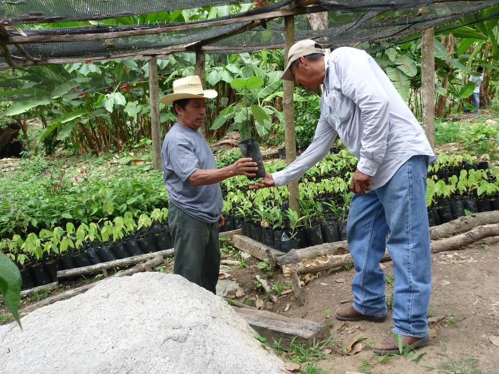 Pépinière ou plutôt nurserie pour cacaoyers ciollo près de la municipalité de Tunzantan. Bananiers, avocatiers et fleurs sont également présents pour fournir les nutriments nécessaires à leur croissance (Photo FC)