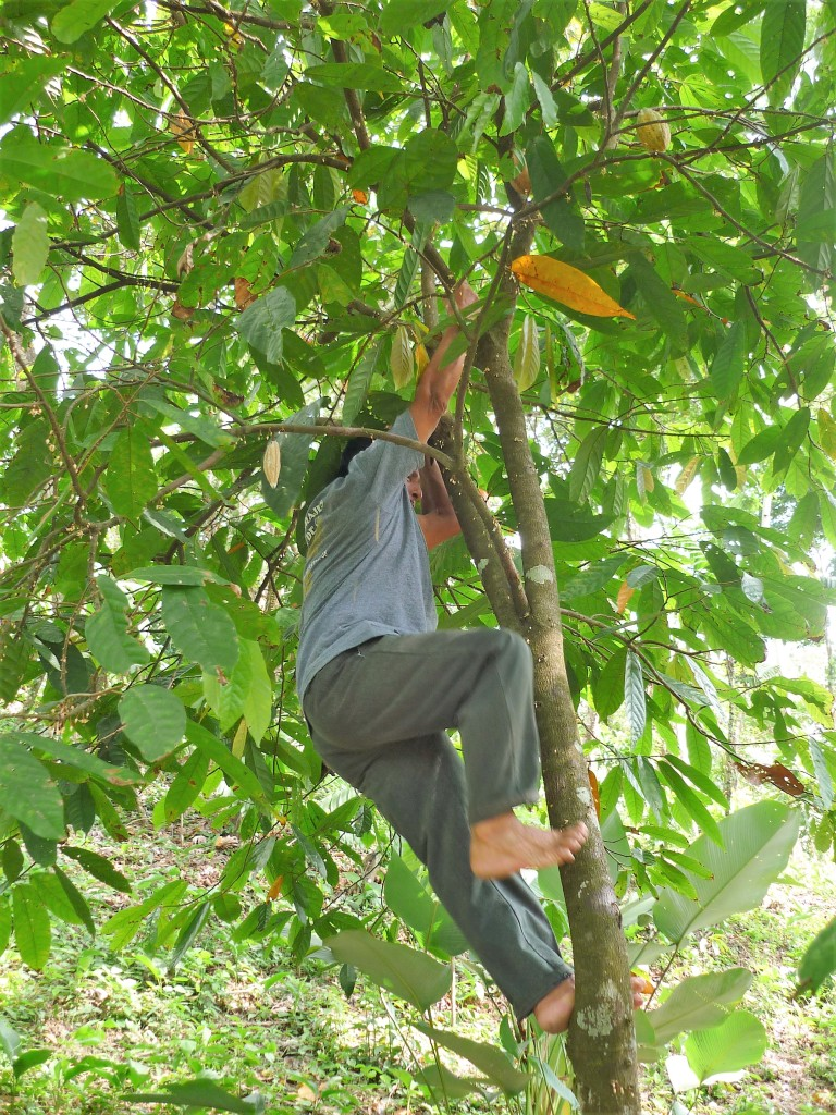 Pour atteindre les dernières cabosses, il faut souvent savoir grimper sur les cacaoyers (Photo FC)