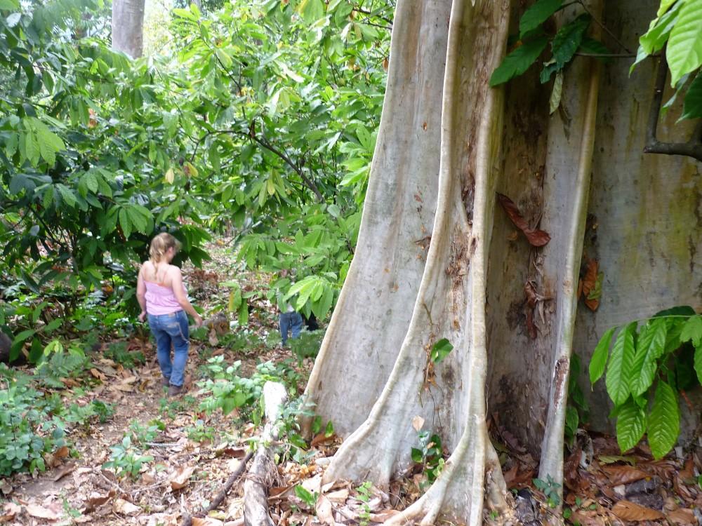 Le ceiba, arbre sacré des Mayas. Il peut atteindre 40 m de hauteur et 3 m de diamètre. A son ombre, hauts de 10 à 15 m, les criollos semblent bien petits.