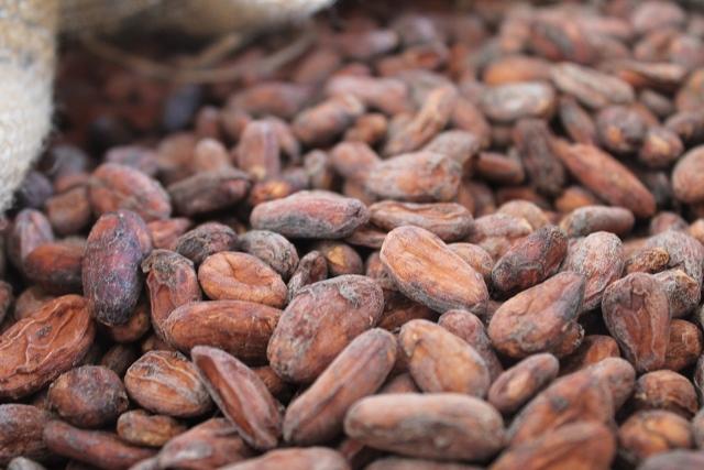 Fèves de Criollo du Soconusco, variété la plus fine des cacaos nobles. Peu acide, très faiblement amer, cette variété développe des arômes et des goûts intenses, profonds, subtiles (un goût de cacao très doux, des arômes secondaires prononcés qui rappellent les noix, le caramel, les myrtilles ou le tabac). En plus, le chocolat issu du criollo concentre un fort pouvoir antioxydant. La production par hectare est aujourd'hui de 200 kilos à l'hectare. L'objectif est d'atteindre la tonne.