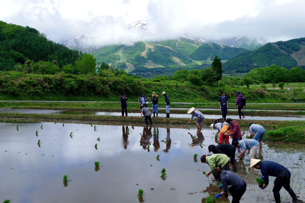 Au commencement était le riz ! Ces rizières de la vallée d'Hakuba se situent au nord-est de la préfecture de Nagano, au cœur des Alpes japonaises. Qu'est-ce qui rend ces variétés de riz à l'instar de certains cépages pour le vin si aptes à faire du saké ? Photo DR
