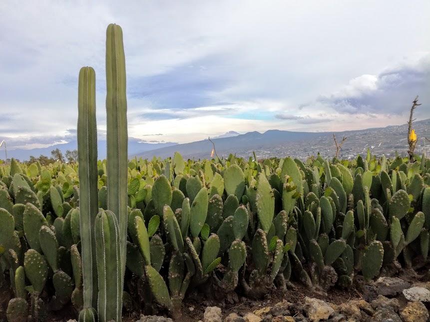Dans cette ville de Mexico, le volcan Teutli est un hâvre de paix où a été planté à l'infini des milliers de rangées de nopal (Photo FC)
