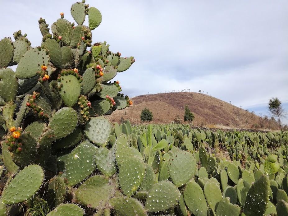 Des champs de nopal, émergent le volcan Teutli. Il a la particularité d'avoir un diamètre beaucoup plus grand que sa hauteur (Photo FC)