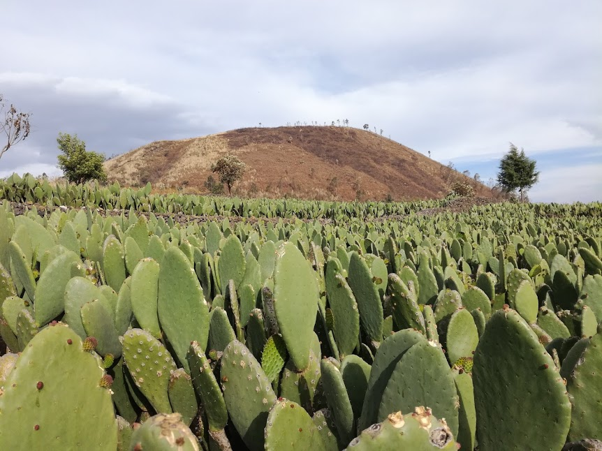 The Teutli emerges out of the Nopal fields (Photo FC)