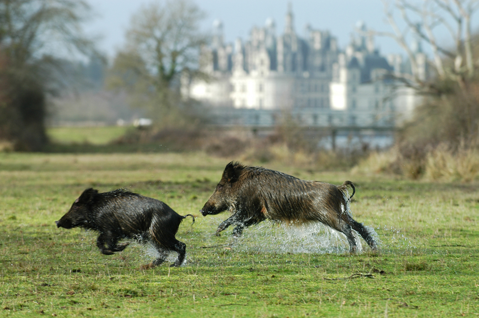 Chambord sangliers (Photo Domaine National de Chambord)