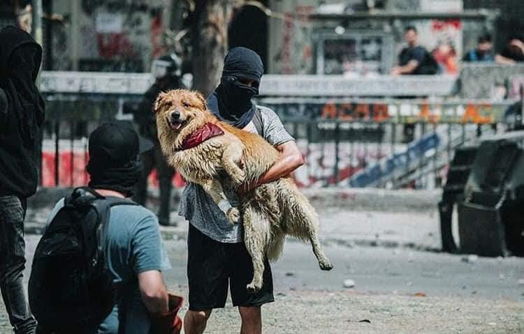 Les chiens sont en premières lignes des manifestations. Certains sont devenus des héros pour leur courage et leur haine des pacos (Photo du manifeste)